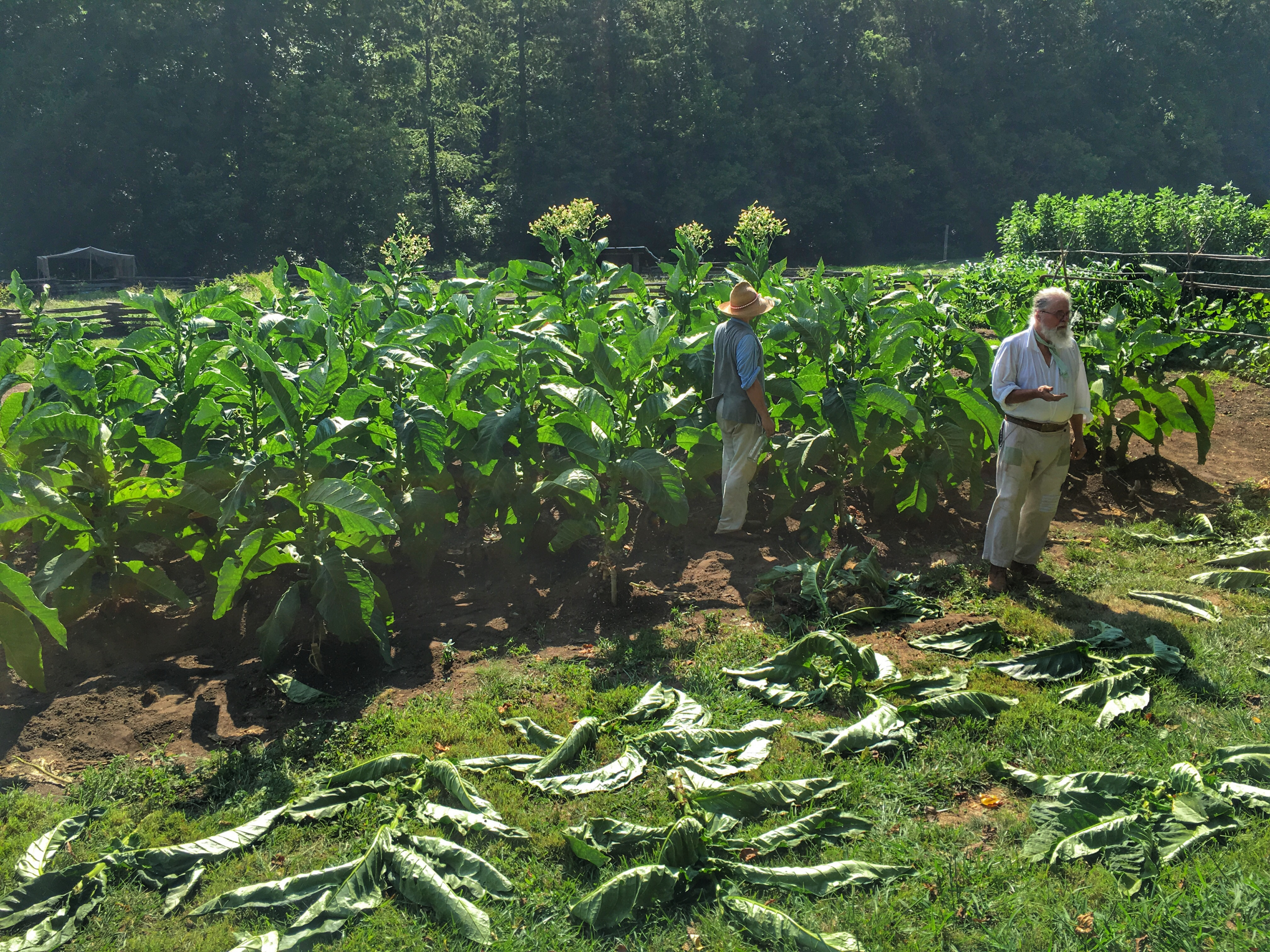 Harvesting tobacco at Mount Vernon's Farm.