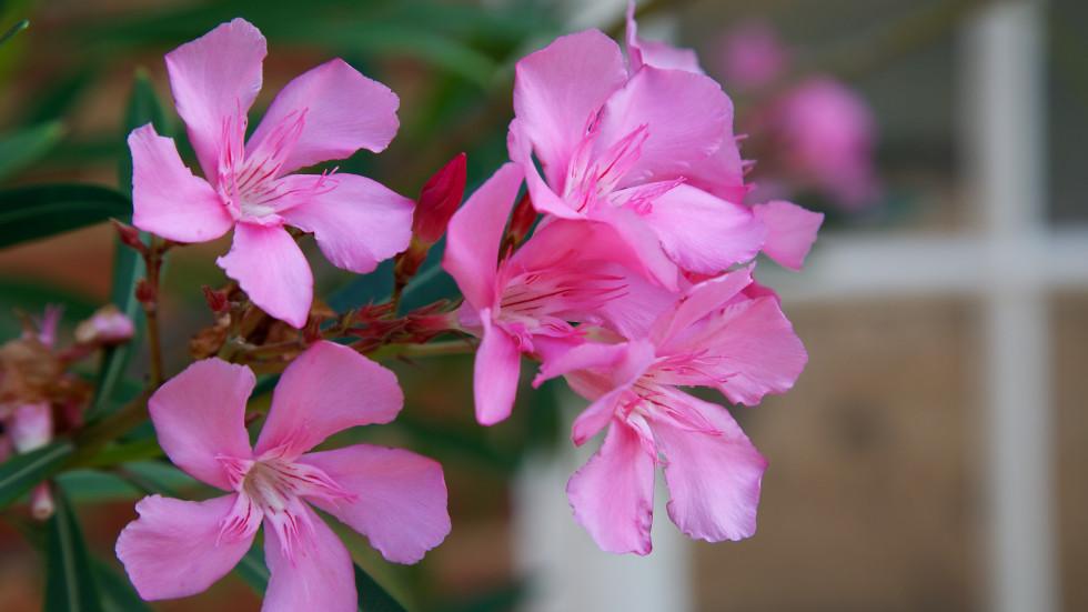 Oleander in the upper garden