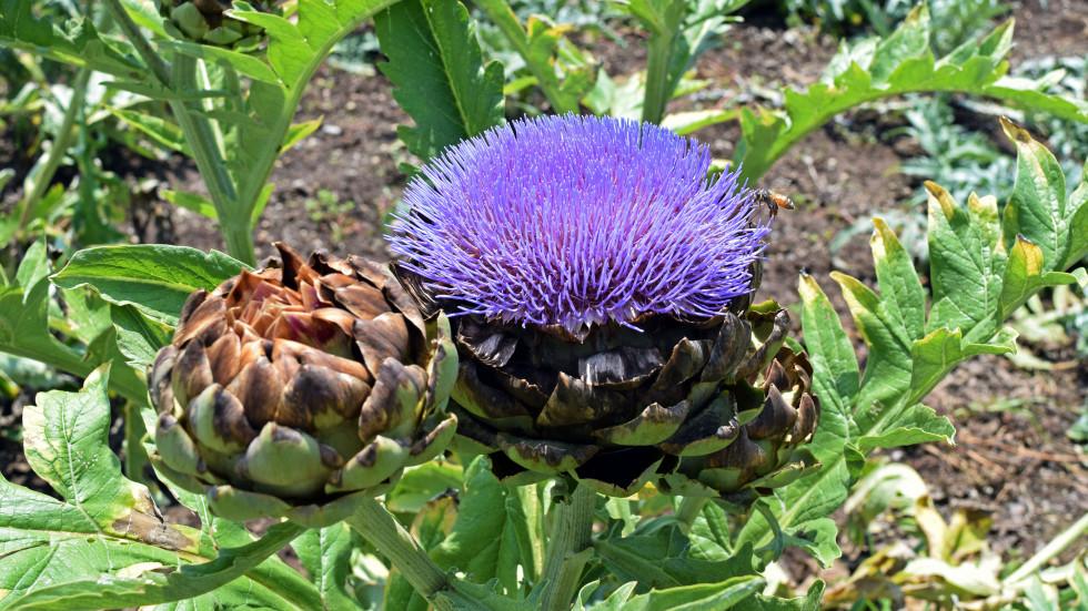 Artichoke bloom in the fruit garden & nursery
