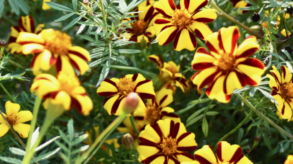 French Striped Marigold in the upper garden