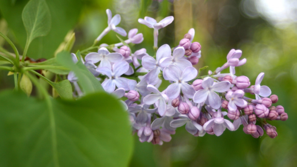 Lilac in the upper garden
